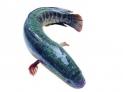 3、青鱼:有补气养胃、化湿利水、祛风解烦等功效。食用可治疗气虚乏力,胃寒冷痛、脚气、湿痹、疟疾、头痛等症。青鱼所含锌、硒、铁等微量元素,还有防癌抗癌作用。