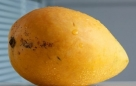 """""""芒果病"""" 由于芒果的性质带湿毒,所以患有皮肤病和肿瘤的朋友,一定要注意避免多吃芒果。""""湿""""是中医学上六个致病原因之一。皮肤病如湿疹、疮疡流脓,妇科病如白带,内科病如水肿、脚气等,都可谓之""""湿"""",体质带湿者再进食湿毒食物如芒果,可能会令情况恶化。反而有些人会担心,吃芒果令青春豆增加,这想法则属过虑。芒果未熟时,果蒂部位会有白色汁液渗出,估计这可能是致敏原因。无论如何,虚寒咳嗽(喉痒痰白)者应避免进食,以免令喉头痕痒。而哮喘患者,亦应遵照医生咐嘱戒吃。"""